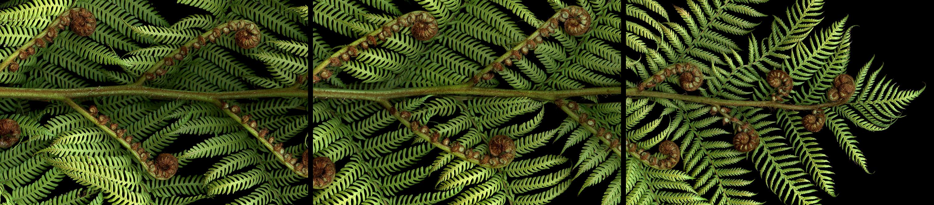 giant fern I II III